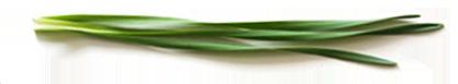 スイセンの葉.png